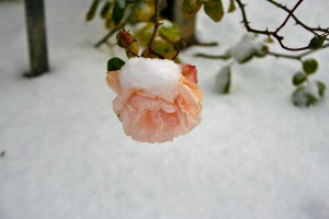 Sleeping Beauty's roses bloomed outside even in winter
