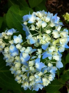 And what about the hydrangeas?  Are they taking care of the hydrangeas?