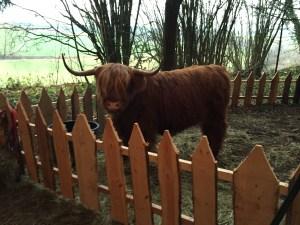 medieval weihnachtsmarkt castle schonseerland highland cow yak
