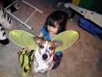 little girl dressing dog up in costume, jack russell terrier, bumblebee costume