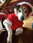 santa dog, jack russell terrier, dog dressed up as santa, christmas