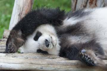 Sleeping Giant Panda Shutterstock