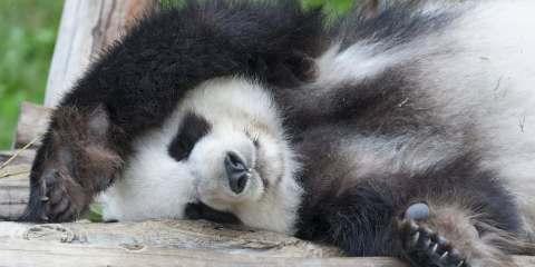 Sleeping Giant Panda Shutterstock