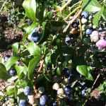 Blueberry Recipe Roundup