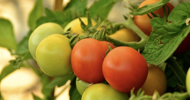 tomatoes-879441_1920