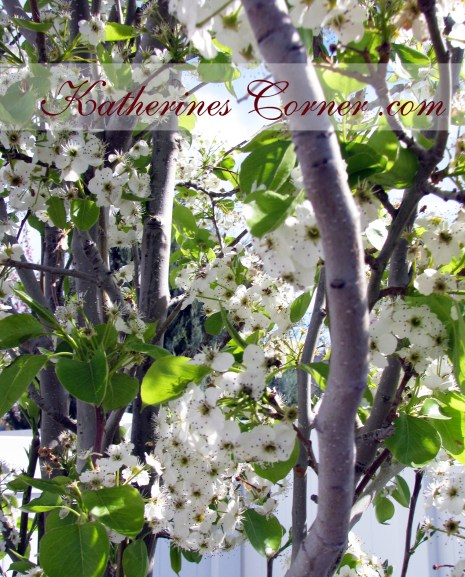 pear tree 1 katherines corner