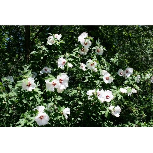 Medium Crop Of Pruning Rose Of Sharon