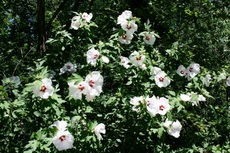 Large Of Pruning Rose Of Sharon