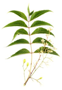 Neem Tree foliage, flowers and seeds