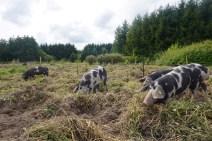 pløjning med gris