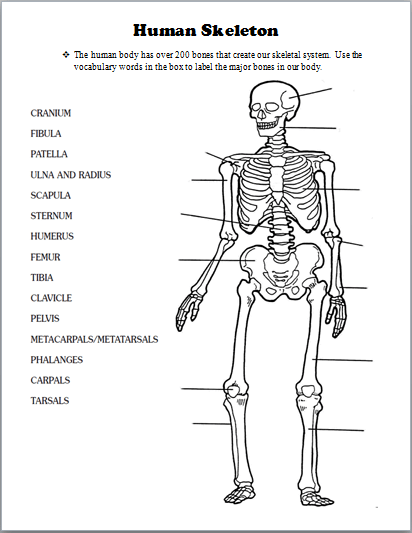 a skeleton diagram without labels for 5th graders