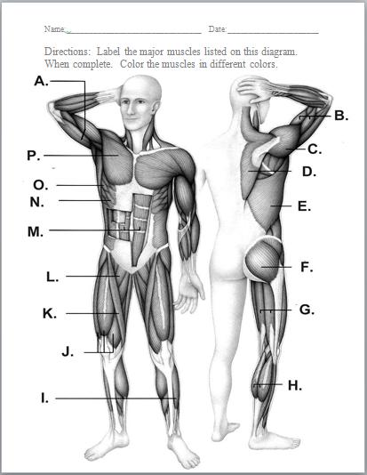 muscular diagram blank middle school