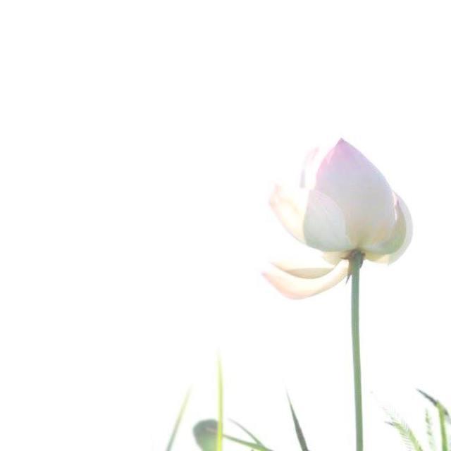 蓮の花、らしい。