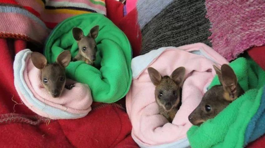 baby kangaroos