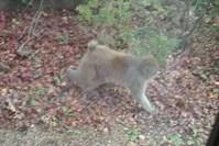 野生のサルが庭を歩く