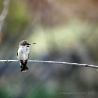 Hummingbird on Guard