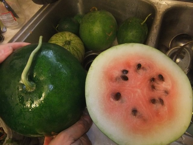 Success with Watermelon Landrace in Colorado (1/5)
