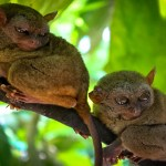 Tarsiers – One of the Smallest Monkeys in the World