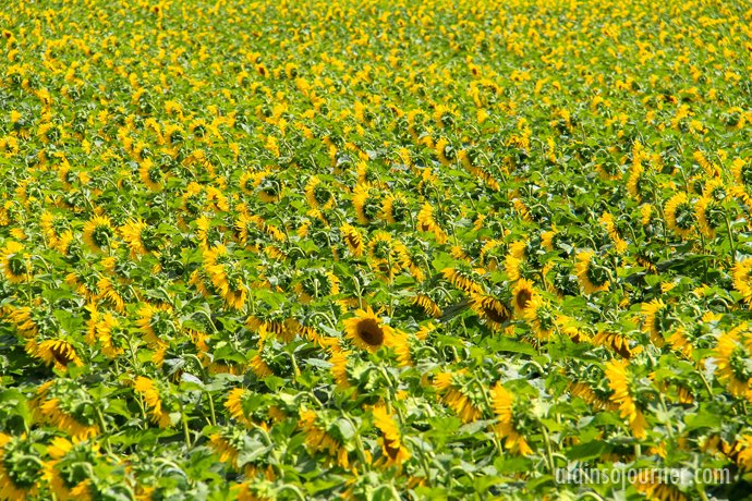 Hamilton Sunflower Farm Ontario 12