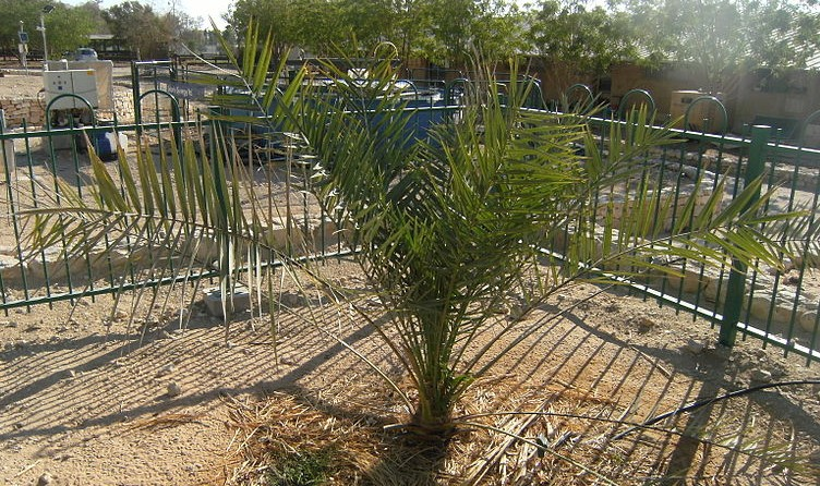 Judean date palm sprouted from ancient seed.