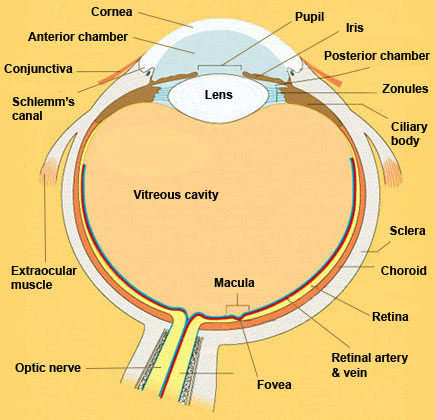 Eye in Cross Section  Anatomy  The Eyes Have It