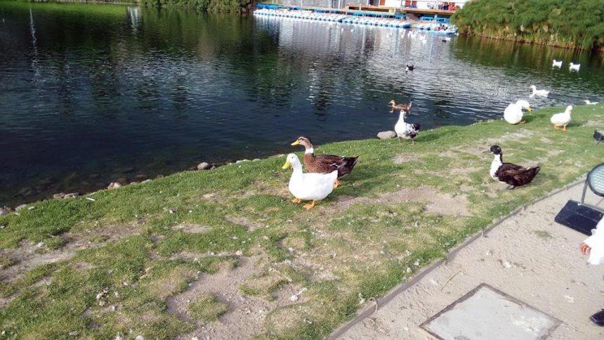 Lago con patos en el Parque de los Fuertes en Puebla, Puebla