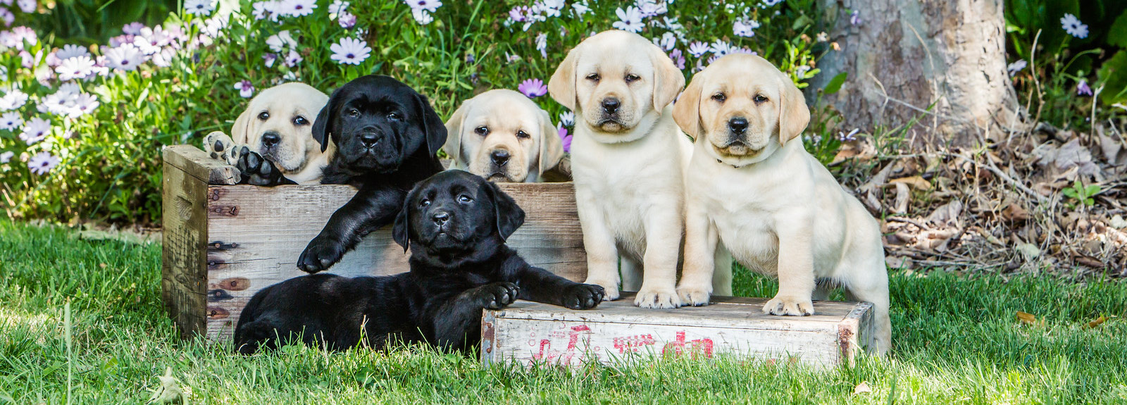 Yellow Lab Dogs For Sale Kentfield Kennels English Labrador Retriever Breeder In