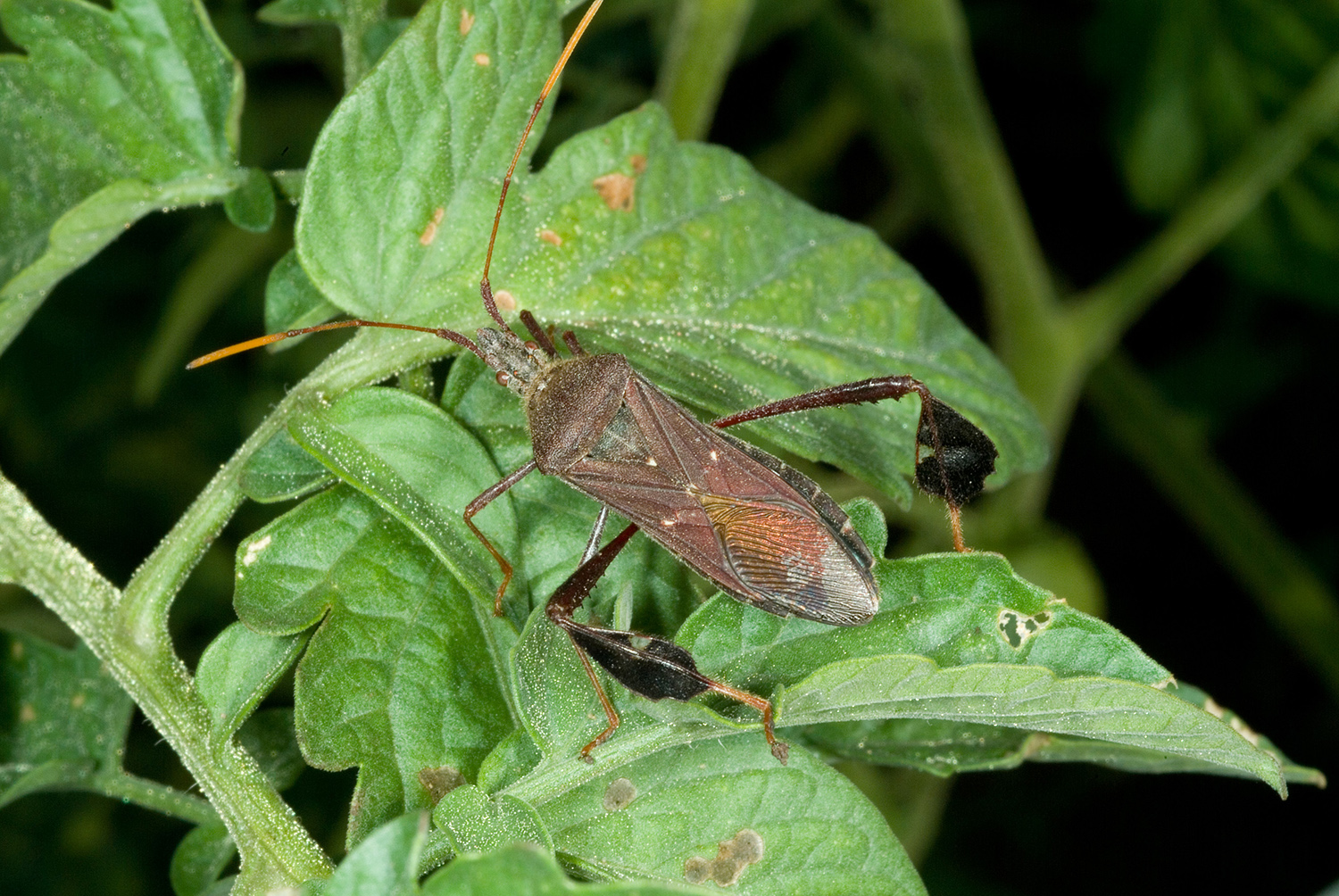 Kentucky: Time to Scout for Stink Bugs, Leaf-Footed Plant Bugs ...