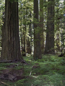 300px-Redwood_stand_20051