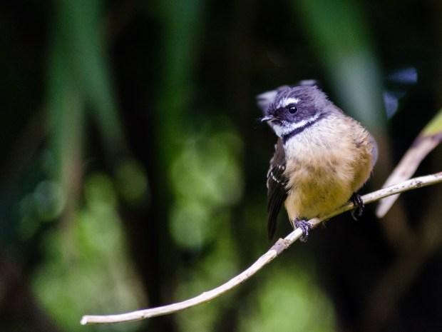 Fantail bird, Heaphy Track