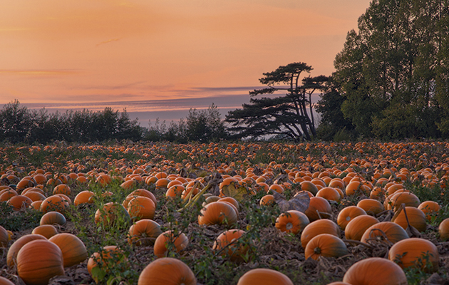 Fall Farm Wallpaper The Pumpkin How It Stole The Turnip S Thunder The Field