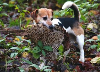 Can I Train My Border Terrier As A Gun Dog Shooting Uk