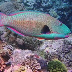 Parrot fish-Weird Facts About Poop