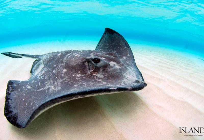 desktop_wallpaper_background_stingray_grand_cayman_snorkeling_diving