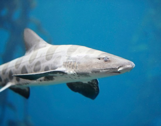 Menacing Leopard Shark