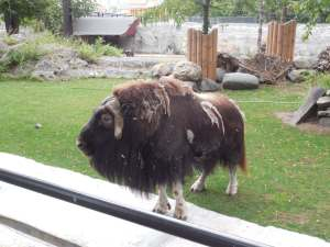 Shaggy cow at Moscow Zoo