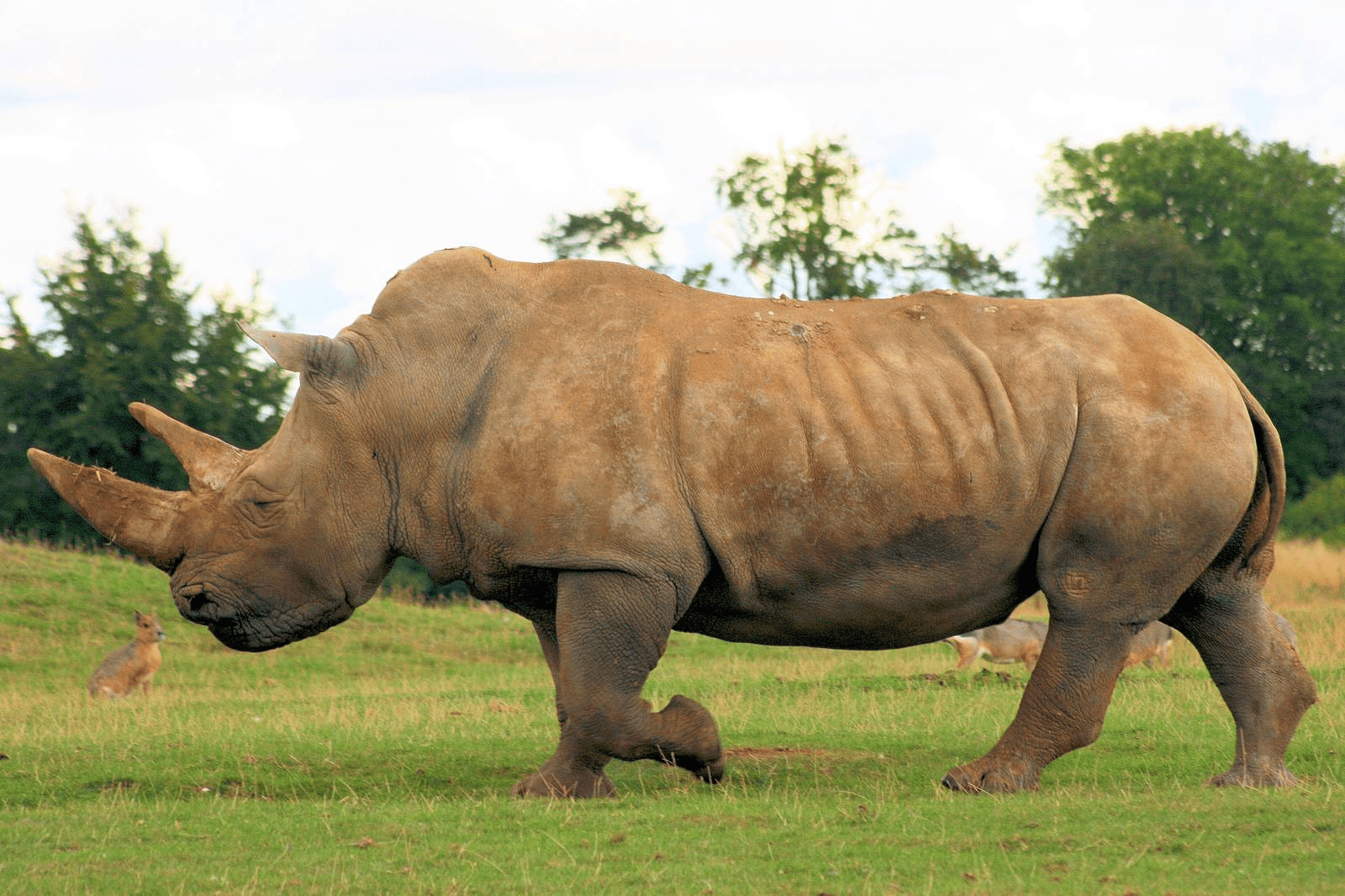 Kids Animal Wallpaper Rhinoceros Pictures Kids Search