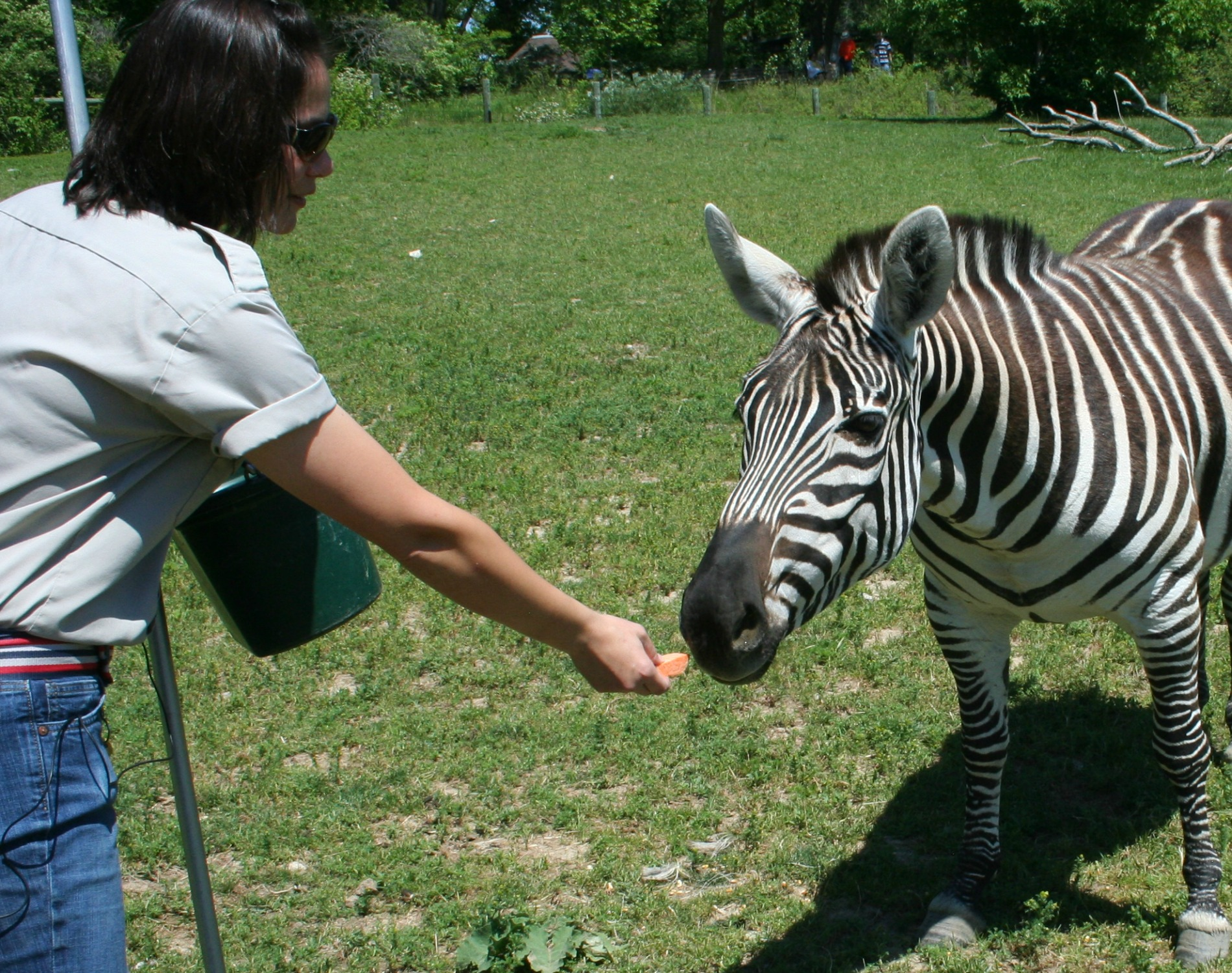Perfect Potatoes Zebras Eating S Zebras Heads Carrots Are Used To Lure Zebras Into Barn Fort Wayne Zoo Zebras S dpreview Pictures Of Zebras