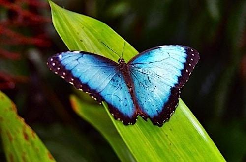 Morpho Butterfly in Costa Rica- Kid World Citizen