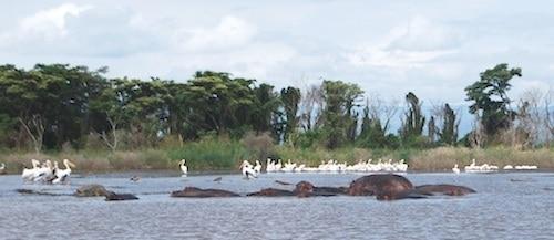 Hippos Ethiopia- Kid World Citizen