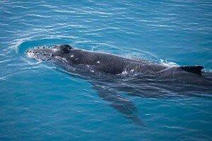 A humpback whale calf surfaces near Hull Banks