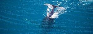 humpback Talboys