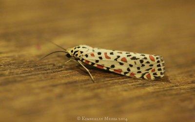 Tiny wet season moth