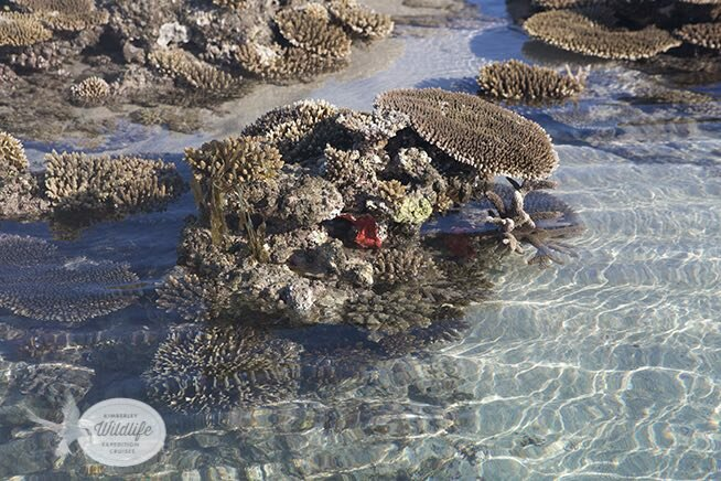 An assemblage of corals on a small bombie near Adele Island off the Kimberley coast.