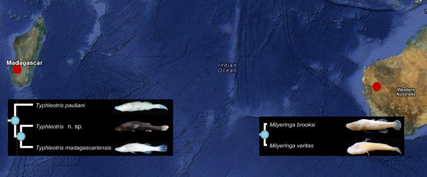 Evolutionary Elegance: Cave Fish Sisters an Ocean Apart