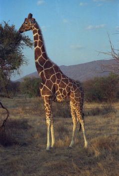 Reticulated Giraffe (Wikipedia)