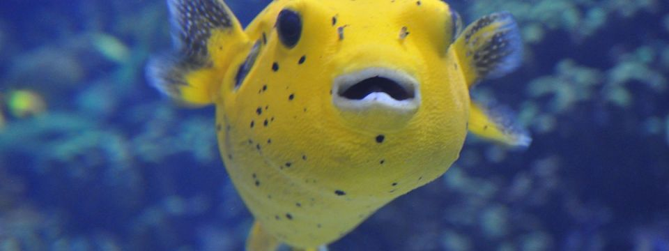 Nothing says love like a pufferfish