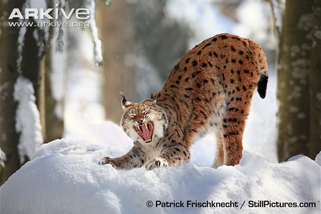 Cute Word Wallpaper Wild Cats The Eurasian Lynx Kimcampion Com