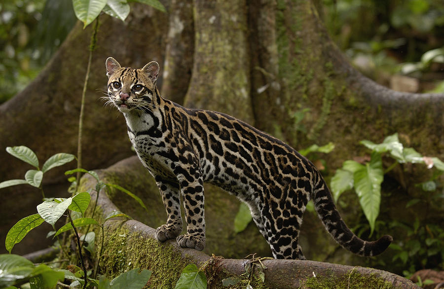 4k Fall Wallpaper Bio227fall2015 07 The Ocelot