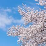 桜の記事で開始2ヵ月で8万PVを集めた話